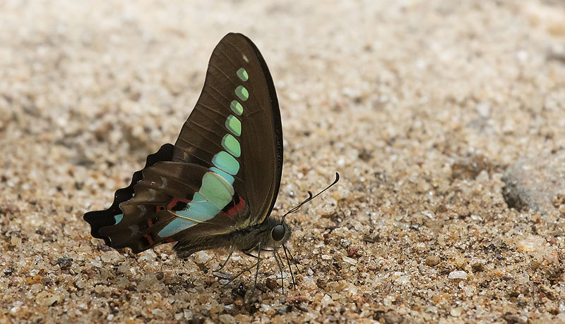 Common Bluebottle, Graphium sarpedon ssp. teredon (C. & R. Felder, 1865). Sri Lanka february 5, 2018. Photographer; Knud Ellegaard