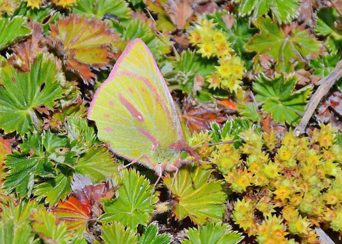 Dimera Sulphur, Colias dimera (E. Doubleday, 1847). Los Nevados National Park 3950 m., Colombia september 2019. Photographer; Hanne Christensen