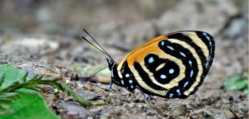 BD Butterfly, Callicore cynosura (E. Doubleday, 1847). Caranavi Highlands, Yungas, Bolivia january 14, 2019. Photographer; Peter Møllmann