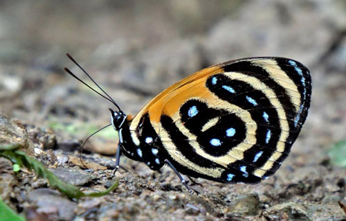 BD Butterfly, Callicore cynosura (E. Doubleday, 1847). . Caranavi Highlands, Yungas, Bolivia january 14, 2019. Photographer; Peter Møllmann