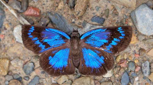 Glorious Blue-Skipper, Paches loxus loxana (Evans, 1953) female. Caranavi, Yungas, Bolivia  february 14, 2019. Photographer; Peter Møllmann