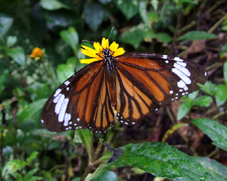 Common Tiger, Danaus genutia. Hainan, China. d. 16 October 2007. Photographer: Henrik Stig Larsen