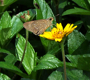 Skippers species?. Hainan, China. d. 16 October 2007. Photographer: Henrik Stig Larsen