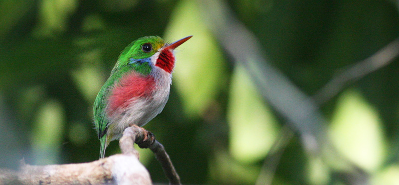 Cuban tody, Todus multicolor (Gould, 1837). Cayo Coco, Cuba d. 21 march 2020. Photographer; Erling Krabbe