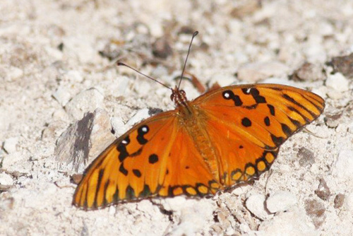 Gulf Fritillary, Agraulis vanillae insularis.  Cayo Coco, Cuba d. 21 march 2020. Photographer; Erling Krabbe
