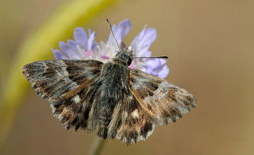 Oriental Marbled Skipper, Carcharodus orientalis. Lesbos, Greece may 2015. Photographer;  John Vergo