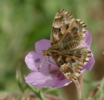 Mallow Skipper, Carcharodus alceae.Turkey d. 22 may 2009. Photographer; Troells Melgaard
