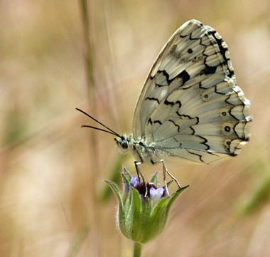 Balkan Marbled White, Melanargia larissa. Turkey d. 26 may 2009. Photographer; Troells Melgaard