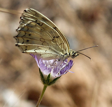 Mountain Marbled White, Melanargia titea ssp.: standfussi. Turkey d. 28 may 2009. Photographer; Troells Melgaard