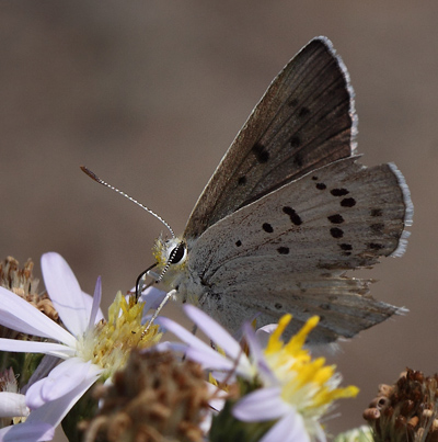 Blue Copper, Lycaena heteronea. Yellowstone Nat. Park, Wyoming, USA d. 12  august 2012. Photographer; Henrik S. Larsen
