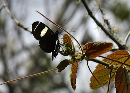 Heliconius wallacei. Coroico 1900 m.h. d. 6 February 2012. Photographer Lars Andersen