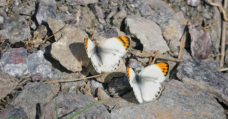 Desert Orange Tip, Colotis evagore ssp. nouna (Lucas, 1849). La Rábita, prov. Almeria, Spain July 14, 2014. Photographer; Tom Nygaard Kristensen