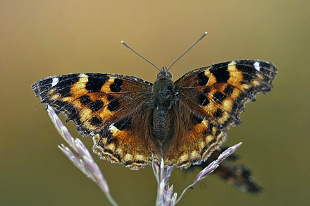 Compton Tortoiseshell, Nymphalis vaualbum (Denis & Schiffermüller, 1775).. ca. 100km syd for Fairbanks, Alaska, USA d. 13  september 2014. Photographer;  Carsten Siems