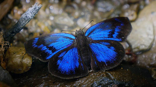 Glorious Blue-Skipper, Paches loxus loxana (Evans, 1953). Mallacita, Caranavi, Yungas, Bolivia January 2015. Photographer; Peter Møllmann