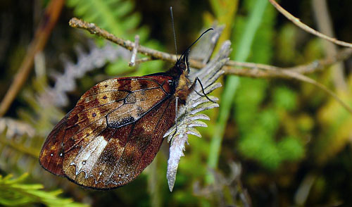 Venerata Satyr, Druphila venerata (Butler, 1873). Sacramento Alto between Yolosa and Unduarvi. 2700 m.a. date 30 January 2015. Photographer; Peter Møllmann