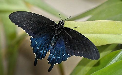 Pipevine Swallowtail, Battus philenor male. Lille Salby, Denmark October 13, 2015. Photographer; Lars Andersen