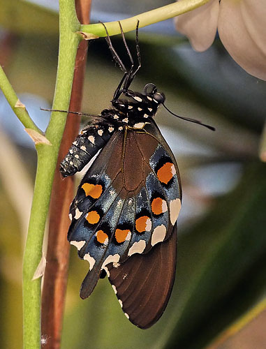 Pipevine Swallowtail, Battus philenor puppae. Lille Salby, Denmark October 13, 2015. Photographer; Lars Andersen