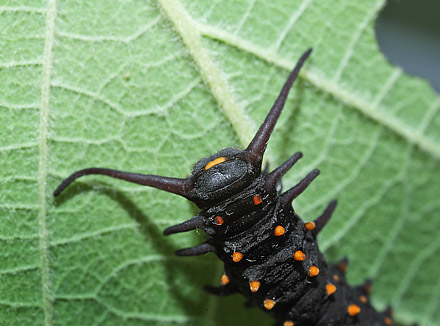 Pipevine Swallowtail, Battus philenor caterpillars on Pipevines, Aristolochia macrophylla. Lille Salby, Denmark d. September 18, 2015. Photographer; Lars Andersen