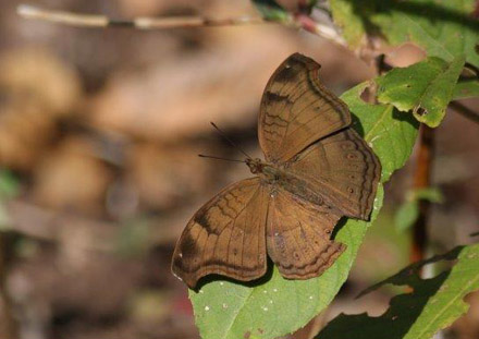Chocolate Pansy, Junonia iphita. Tansa Forest north of Mumbai, India January 2016. Photographer; Erling Krabbe
