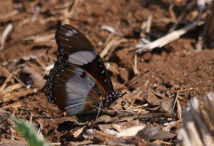 Danaid Eggfly, Hypolimnas misippus (Linnaeus, 1764). Tansa Forest north of Mumbai, India January 2016. Photographer; Erling Krabbe