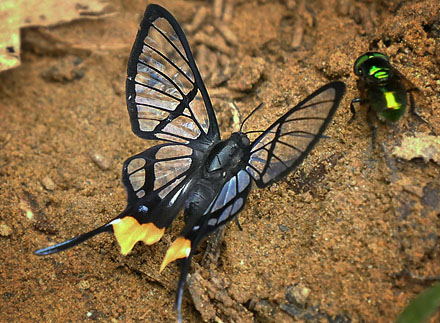 Fabricius Angel, Chorinea octauius (Fabricius, 1787) with yellow spot on rearwing. Garrapatuni, Caranavi, Yungas, Bolivia January 15, 2016. Photographer; Peter Møllmann