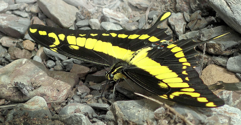 King Page Swallowtail, Herachlides thoas ssp. brasiliensis (Rothschild & Jordan, 1906). Caranavi, Yungas, Bolivia January 12, 2016. Photographer; Peter Møllmann