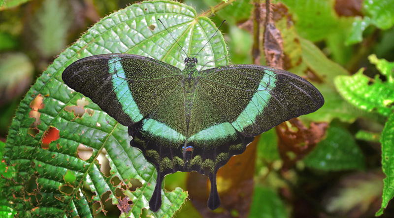 Emerald Peacock or Green-banded Peacock, Papilio palinurus (Fabricius, 1787). Poring Hot Springs, Sabah, Borneo october 9, 2016. Photographer; Hanne Christensen