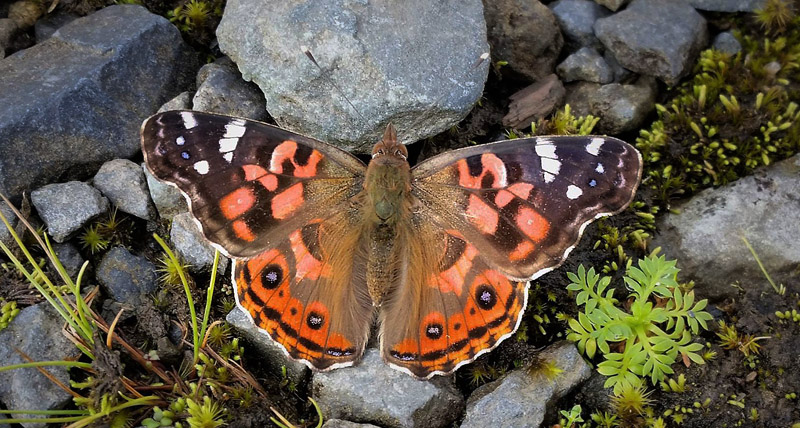 Andean Painted Lady, Vanessa altissima (Rosenberg & Talbot, 1914).  Dead Road 2900 m. Yungas, Bolivia d. 24 Januar 2017. Fotograf; Peter Møllmann
