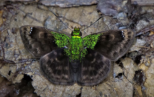 Green-shouldered Sootywing, Gorgopas trochilus (Hopffer, 1874).  Caranavi, Yungas, Bolivia january 15, 2018. Photographer; Peter Møllmann