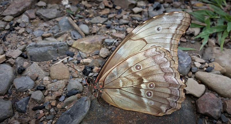 Giant Light-blue Morpho, Morpho godartii ssp. lachaumei (Blandin, 2007) male. Bella Vista, Caranavi highlands, Yungas, Bolivia february 24, 2018. Photographer; Peter Møllmann